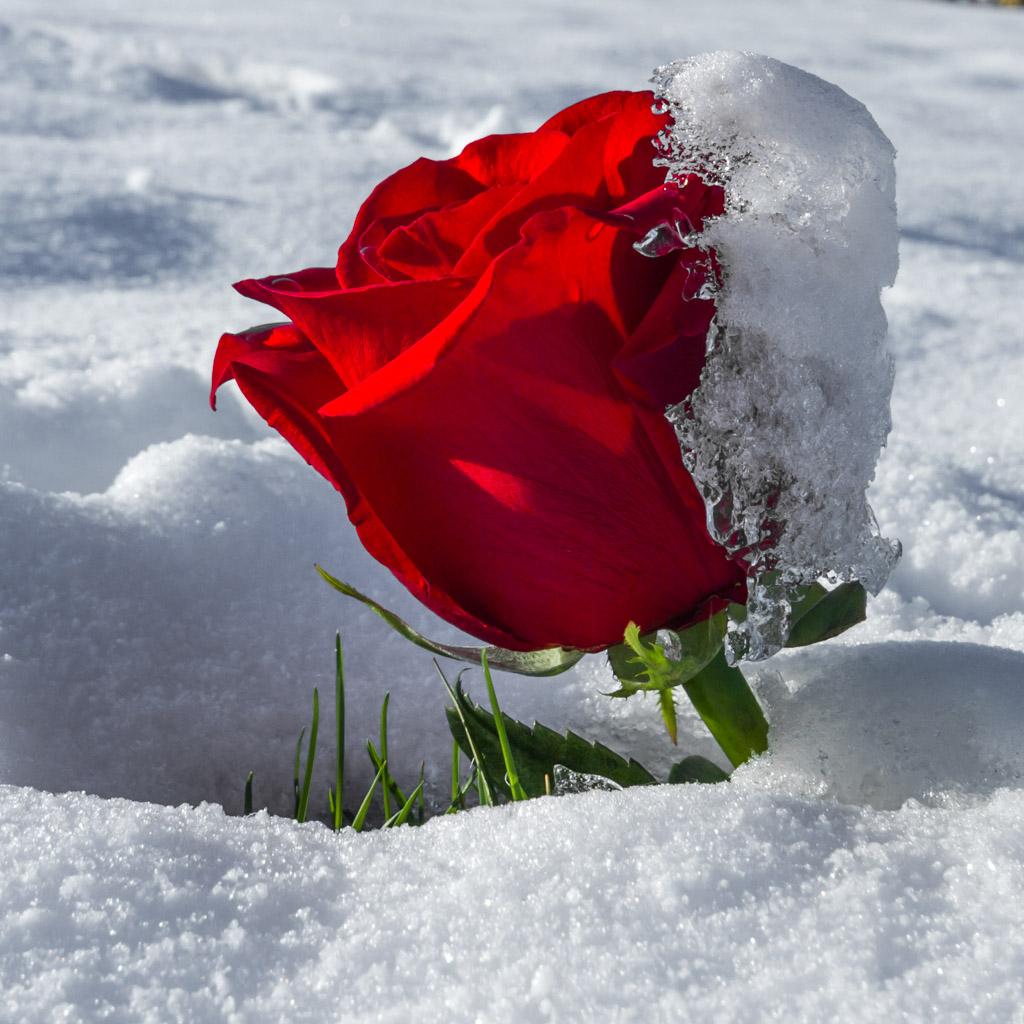 Картинки анимации роза на снегу