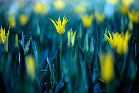 Фото Желтые тюльпаны на размытом фоне