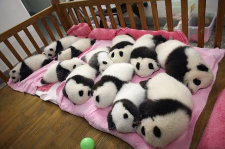 Фото Маленькие панды наигравшись, спят в своей кроватке