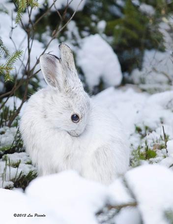 Фото Заяц на снегу, by Les-Piccolo