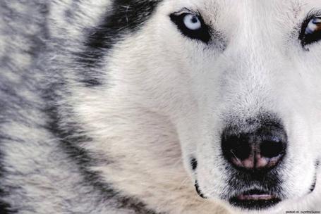 Фото Морда волка крупным планом