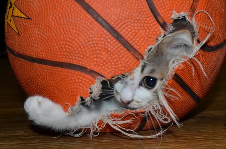 Фото Котенок выглядывает из порванного баскетбольного мяча