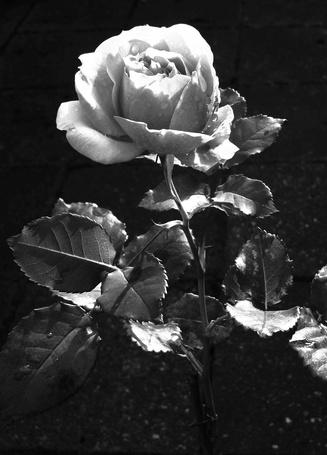 Фото Роза с каплями росы