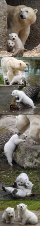 Фото Белая медведица с двумя медвежатами около воды
