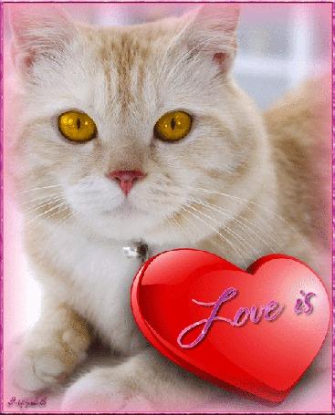 Фото Бежевый кот с желтыми глазами, с украшением на ошейнике, лежит рядом с украшение в виде сердечка, на котором написано Love is / Это любовь, Эльза 68