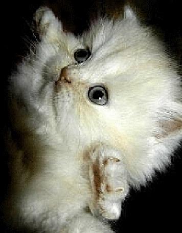 Фото Белый пушистый котенок стоит на задних лапках и смотрит подняв вверх голову