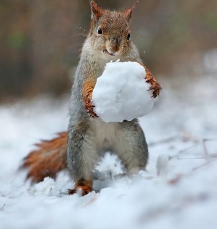 Фото Белка со снежком в лапах, фотограф Вадим Трунов