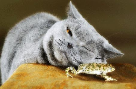 Фото Серый кот следит за лягушкой, моргая хитрым глазом, автор Анна