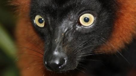Фото Морда лемура с удивленным взглядом