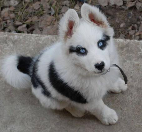 Фото Щенок собаки хаски с голубыми глазами и в ошейнике