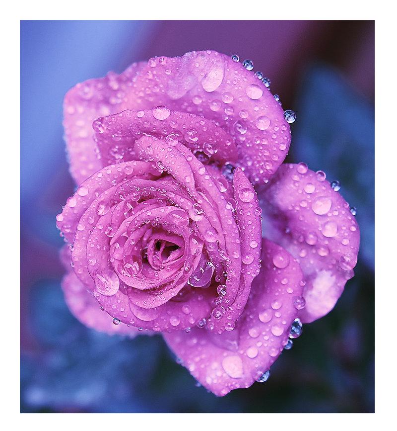 Фото Сиреневая роза в каплях росы, by Nataly1st
