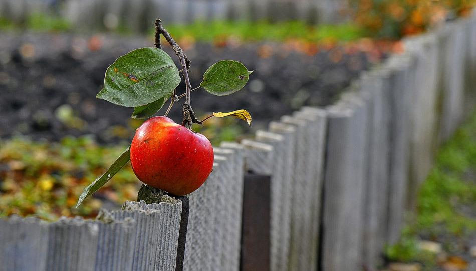 Фото Яблоко на заборе