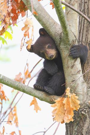 Фото Медвежонок залез на дерево