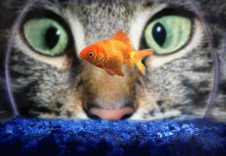 Фото Кот смотрит в аквариум, где плавает золотая рыбка