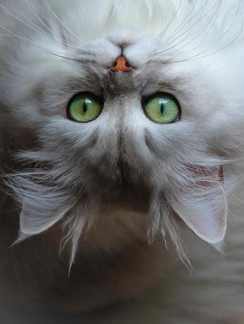 Фото Белая кошка с зелеными глазами смотрит вверх