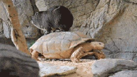 Фото Вомбат катается на черепахе