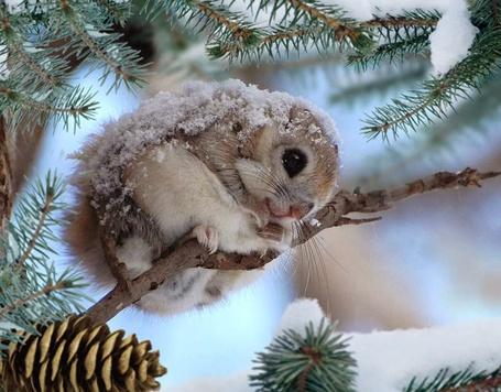 Фото Бельчонок припорошенный снегом, сжался в комочек на еловой ветке