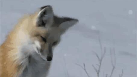 Фото Лисица мышкует, ныряет в снег и достает из норки мышь