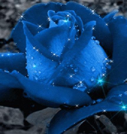 Розы в капельках росы фото