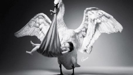 Фото Лебедь раскинув крылья держит в клюве малыша