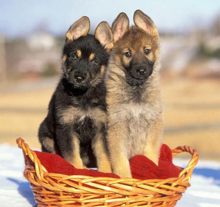 Фото Два щенка сидят в корзине на красном пледе