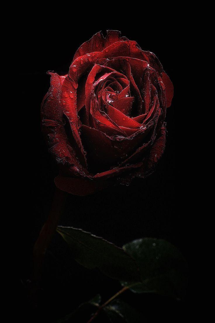 Мальчикам февраля, открытка темные розы