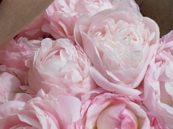 Нежно-розовые пионы на размытом фоне