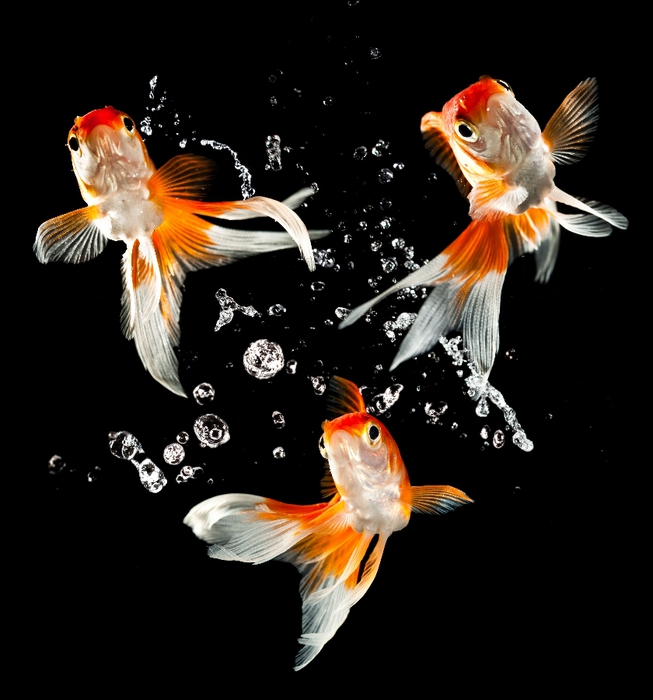 Фото три золотые рыбки плавающие в