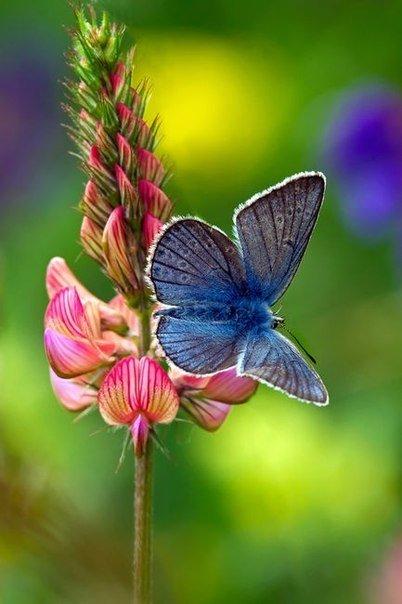 Бабочка сидит на розовом цветке