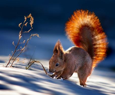 Фото Белка в лучах зимнего солнца, фотограф Polyushko Sergey