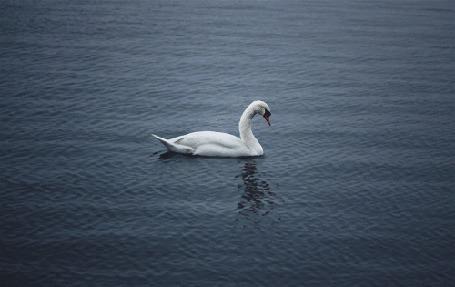 Фото Лебедь посреди озера, by Julien Douvier