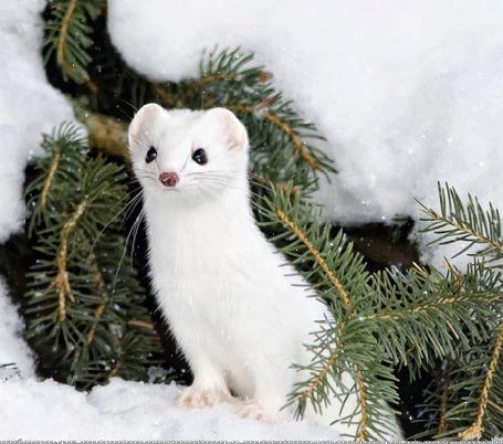Фото Куница под падающим снегом