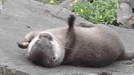 Фото Выдра жонглирует, лежа на спине