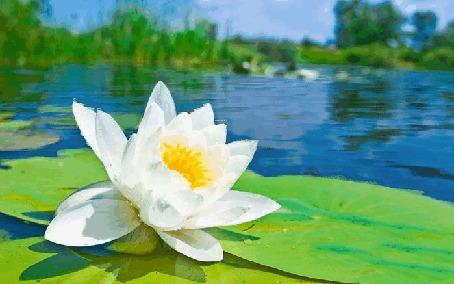 Фото Белый цветок лотоса на озере