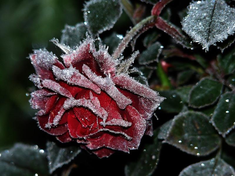 фото замерзшей розы утонуть этих