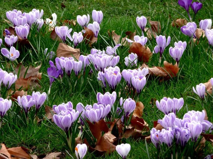 пора цветения крокусов фотогалерея или