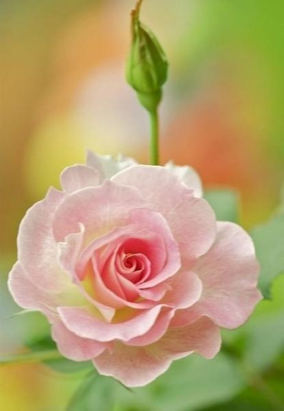 Фото Розовая розочка, рядом еще закрытый бутон