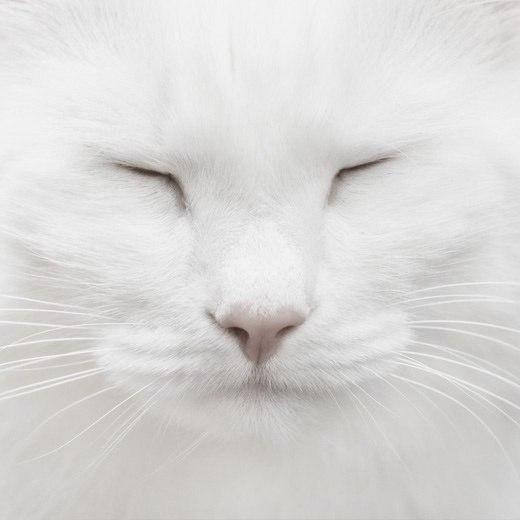Фото Крупным планом мордочка зажмурившейся белой кошки