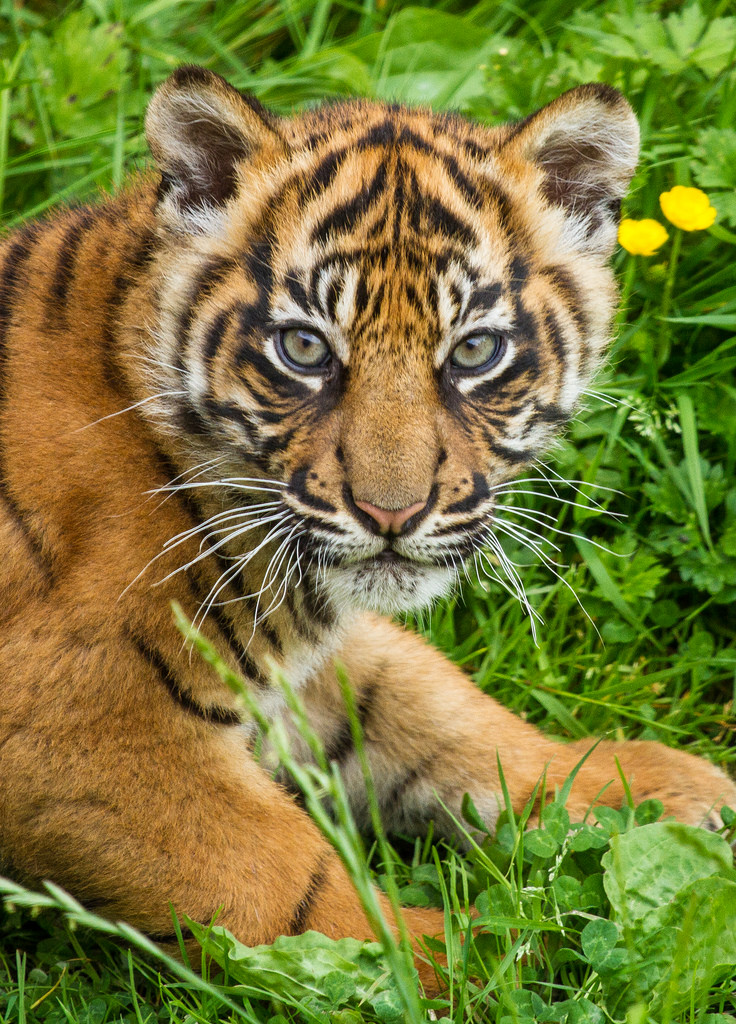 для картинки с сидящим тигренком покрасить