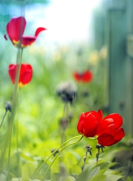 Фото Тюльпаны среди травы