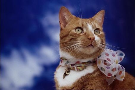 Фото Рыжая кошка с бантом на шее