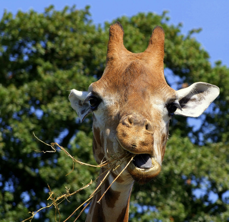 Фото Жираф жует сухую траву