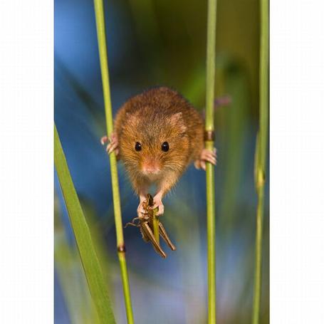 Фото Мышка полевка держится задними лапами за стволы растений, а в передних лапах держит кузнечика