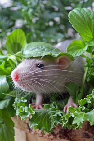 Фото Серый мышонок выглядывающий из под листочка