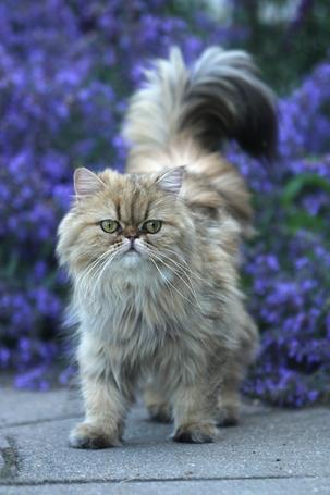 Фото Пушистая кошка на фоне сиреневых цветов