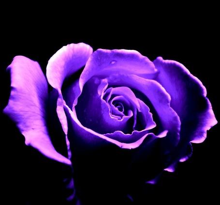 Фото Фиолетовая роза на черном фоне