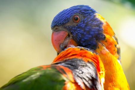 Фото Попугай с ярким раскрасом, by EOS-Husky