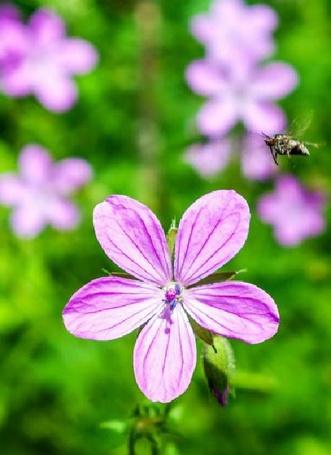 Фото Шмель подлетает к яркому розовому цветку