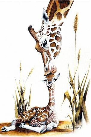 Фото Мама жираф лижет голову лежащего маленького жирафа, художник Peter Williams