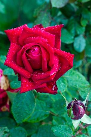 Фото Красная роза в каплях росы, фотограф Pavlik P
